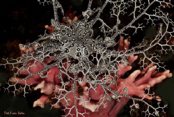 Basket star on  cold water noble coral , Atlantic Ocean, ... by Peet Van Eeden 
